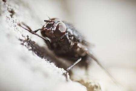 Macro photo of domestic fly insect. 版權商用圖片