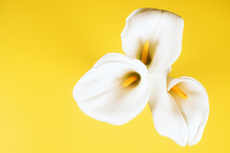 Three white calla lily arum flowers are on yellow background. Stock Photo