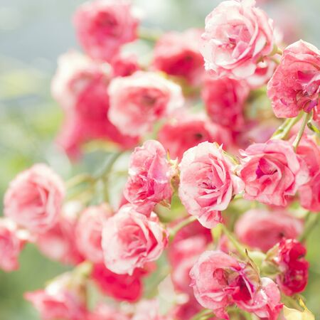 Beautiful pink rose bush with little rose flower heads.
