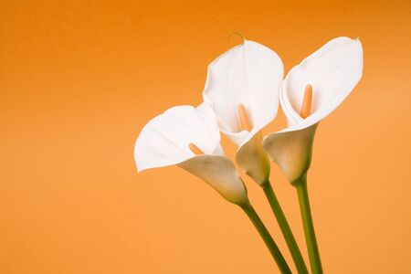 Three white calla lily arum flowers are on orange background.