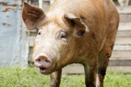 The domestic red pig is doing funny grimace, pig breeding and agriculture concept.