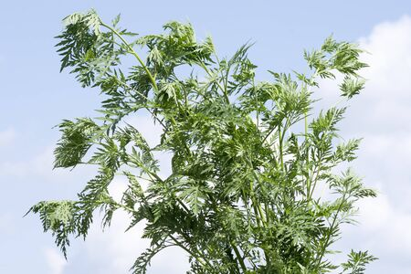 Ragweed or ambrosia plant on blue sky background, ragweed allergy or ambrosia allergy concept.