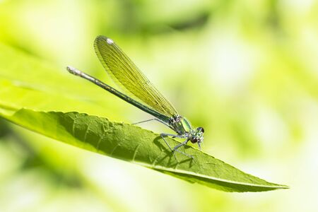 The dragonfly damselfly insect is on green leaf on green background in nature.