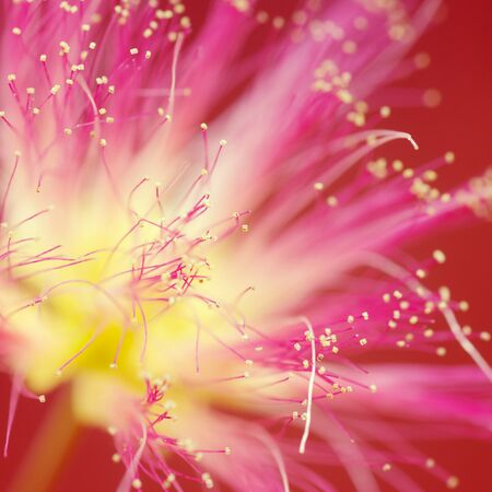 Macro photo of beautiful yellow pink flower on red background.