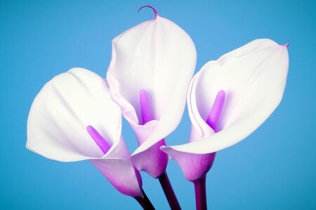 Three white calla lily arum flowers with pink middle and stem are on blue background. Фото со стока