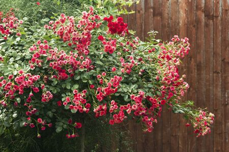 Beautiful red rose bush with small flower heads and lush foliage is on brown background. Фото со стока