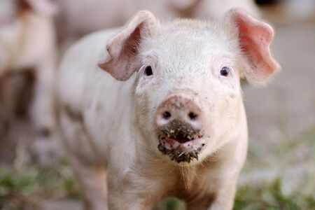 Front view animal portrait of dirty cute little pig, agriculture and pig breeding concept.
