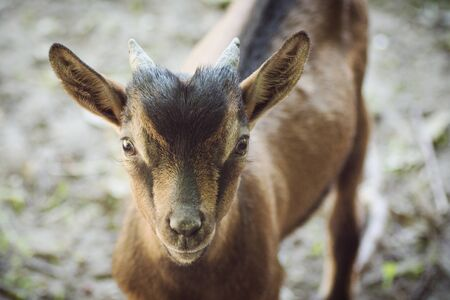 Animal portrait of cute brown domestic kid goat.