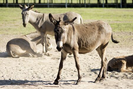 Gray and brown domestic donkeys in the farm, agricultural burro or donkey breeding.