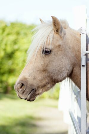 Side view animal portrait of beige domestic horse head outdoors. 写真素材 - 131753422