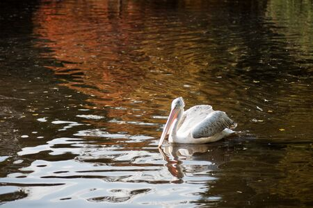 The white pelican bird or waterbird is floating in the lake with autumn colors in nature. 写真素材