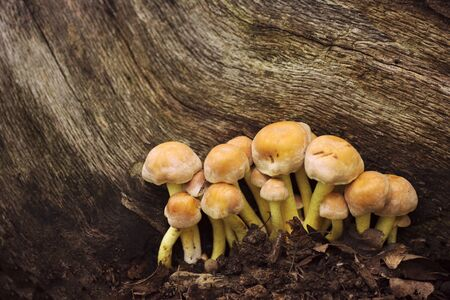 Wild mushrooms are growing from ground on trunk in the forest. 스톡 콘텐츠