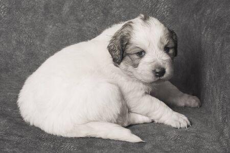 Cute white Bosnian shepherd puppy pet is sitting on gray background.