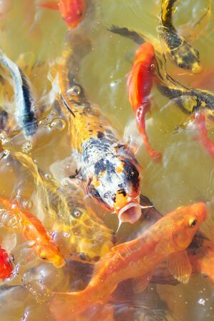 Colorful Japanese koi carp fishes are swimming in lake. 스톡 콘텐츠