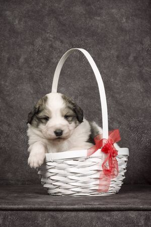 Cute sheperd puppy or lovely dog pet is sitting in the basket on gray background.