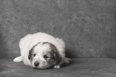 The cute sad white sheperd puppy is lying down on gray background.