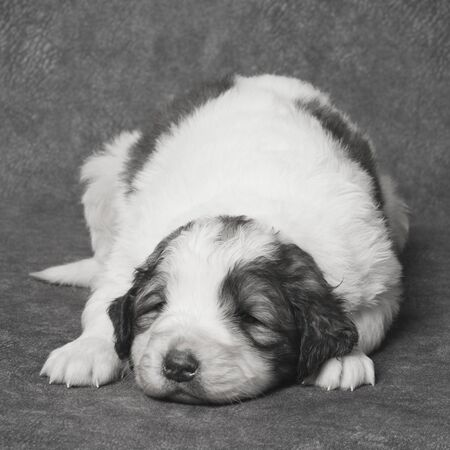 The cute sad puppy is lying down, sick dog or illness of pets concept. 스톡 콘텐츠
