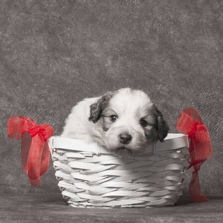 Cute sheperd puppy is in the basket on gray background.