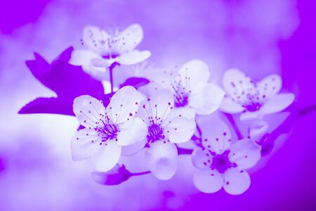 White spring flowers on blooming tree on purple background. Foto de archivo