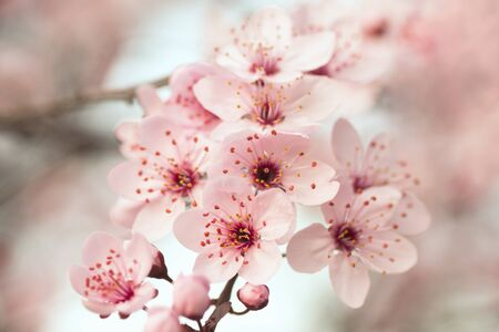 Beautiful pink spring flowers on branch of blooming tree, nature in springtime.