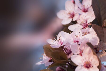 Beautiful pink spring flowers on branch of blooming tree at the spring on blur background. 版權商用圖片