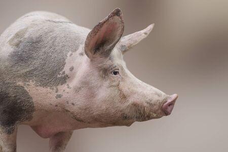 Profile view animal portrait of big domestic pig. 写真素材