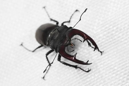 Close-up photo of stag beetle insect on white background. Foto de archivo