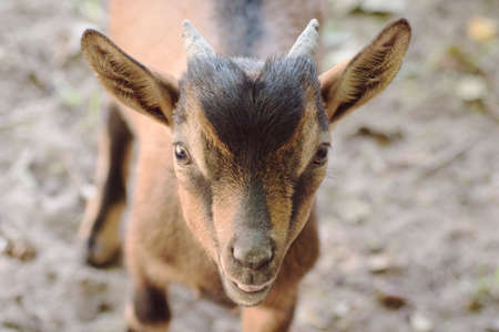 Animal portrait of cute brown young goat.