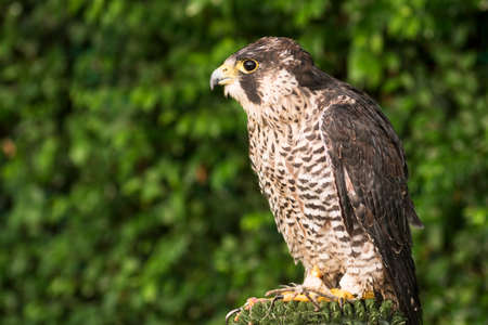Side view animal portrait of falcon or hawk bird on green background.