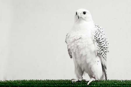 The white falcon or gyrfalcon bird of prey is sitting on white background.