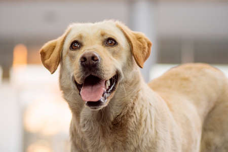 Animal portrait of friendly beige dog with tongue, pet lover concept. 写真素材