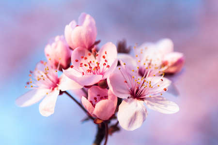 Beautiful pink spring flowers on blossoming branch of tree on blur background. 写真素材