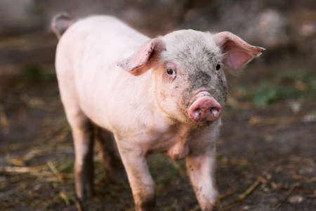 Little dirty domestic pig is standing on muddy earth.