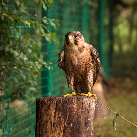 The bonding brown falcon bird of prey is sitting on tree trunk, falconry and falcon breeding concept.