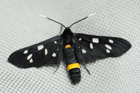 The spotted black butterfly insect is on gray textile. 写真素材