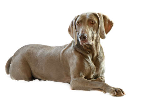 Weimaraner,6 years old isolated on white  Stock Photo - 9647675