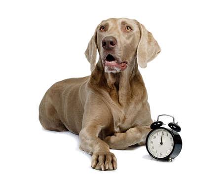 Dog and alarm clock isolated on white Stock Photo - 9800806