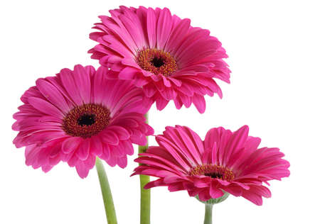 gerber: Gerberas isolated on white