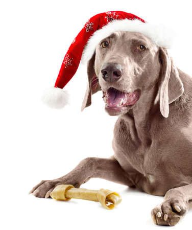 Santa dog with bone  photo