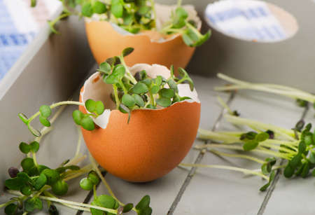 cress: Fresh Cress salad in an eggshell. Selective focus