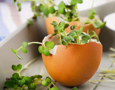 eggshell: Fresh Cress salad in  eggshell. Selective focus
