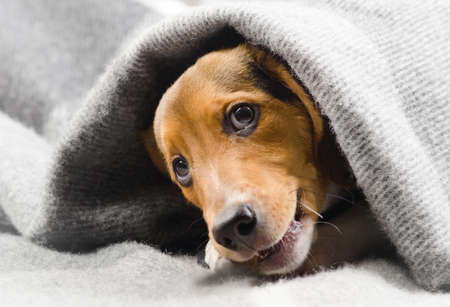 Cute puppy peeking out from soft warm blanket. Selective focus Stock Photo