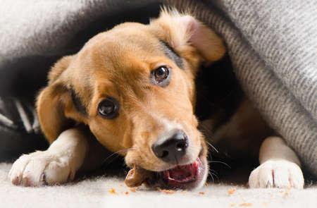 Cucciolo sveglio che dà una occhiata fuori da sotto coperta calda. messa a fuoco selettiva Archivio Fotografico