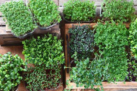 Gemischte Microgreens in Schalen auf Holzuntergrund. Draufsicht mit Kopienraum Standard-Bild