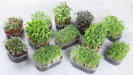 Differend types of Mixed Microgreens in trays on grey background.
