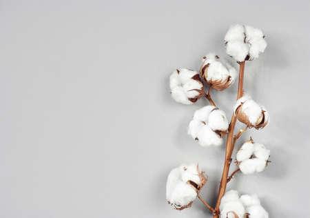 Cotton flower branch on gray Standard-Bild - 121718014