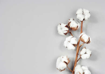 Cotton flower branch on gray