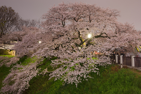 nightview: cherry blossom nightview