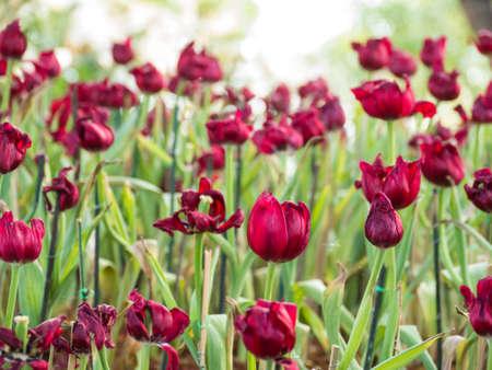 Tulips in garden on bokeh background,