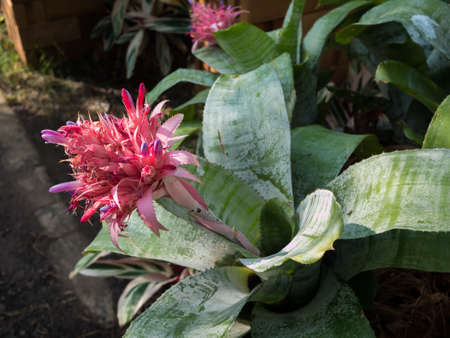 Aechmea Fasciata flower in the garden,